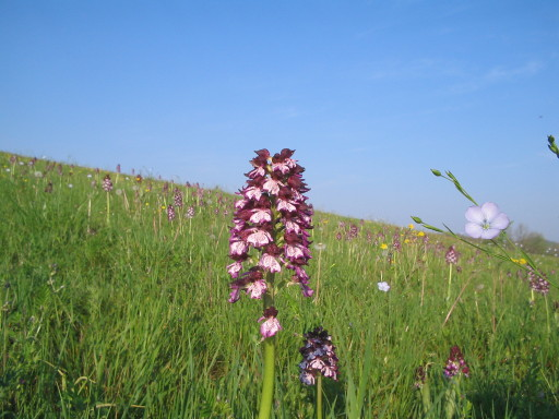 Orchideenwiese auf reconversion terre arable (RTA)