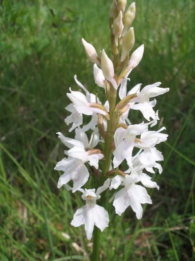 Fuchs Knabenkraut Dactylorhiza fuchsii