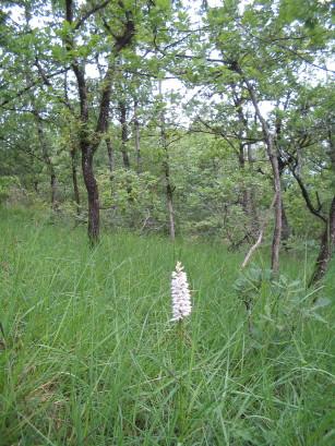 Fuchs Knabenkraut, Dactylorhiza fuchsii