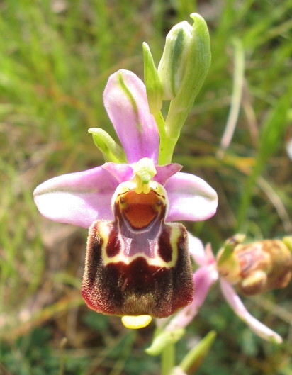 Ophrys du Gers, Ophrys aegirtia