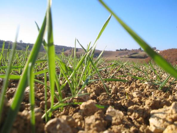 Keimender Weizen, November 07