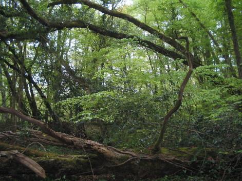 Buchenwälder in Ponsan-Soubiran