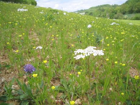 Wiese mit Orlaya grandiflora