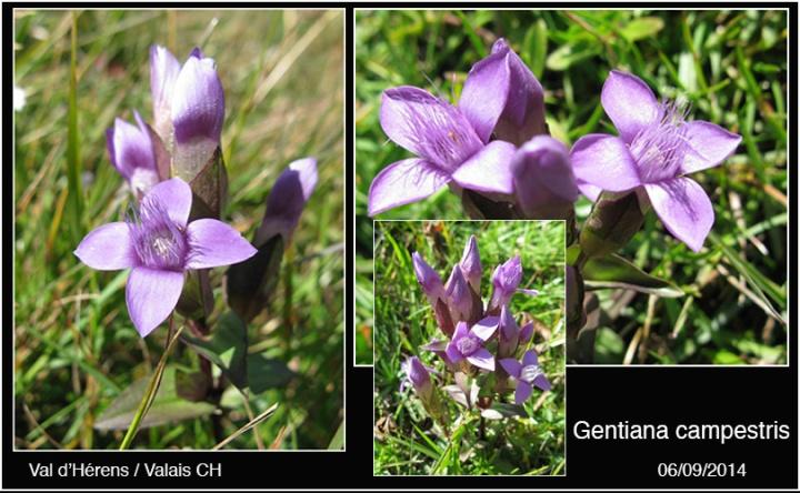 4-Gentiana-campestris