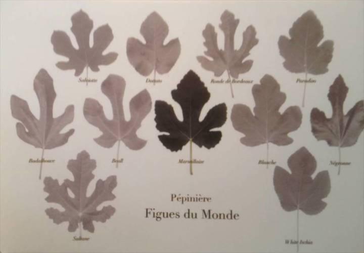 figues du monde (1)
