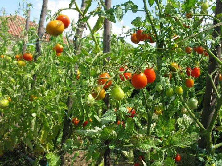 Tomaten-1