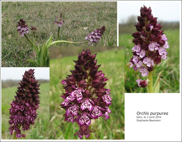 Orchis-purpurea.jpeg