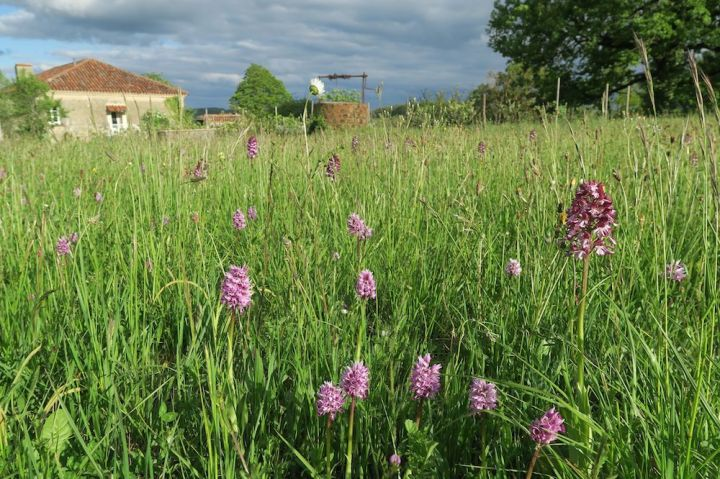 Orchis purpurea und simia.jpg