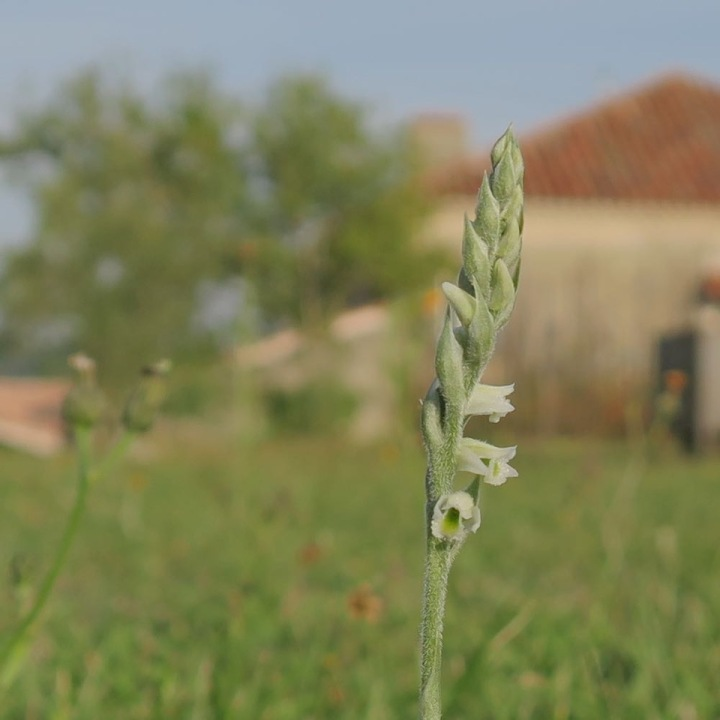 Spiranthes spiralis 2.jpeg