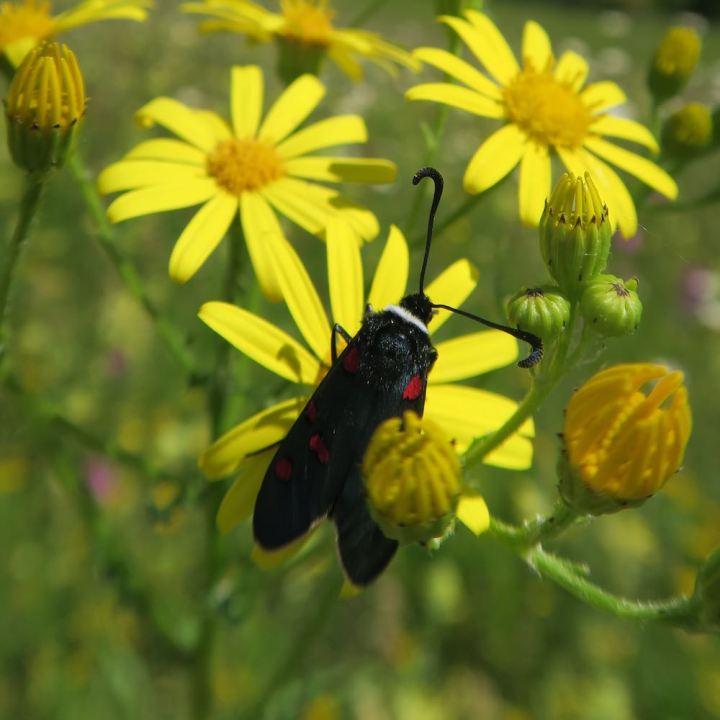 Zygaena lavendulae